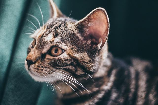 tygrovaná kočka