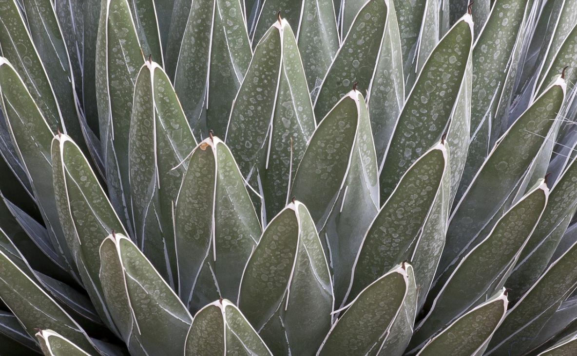 kaktus agáve